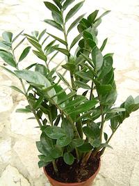 zz-plants
