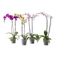 orchid-potted-plant