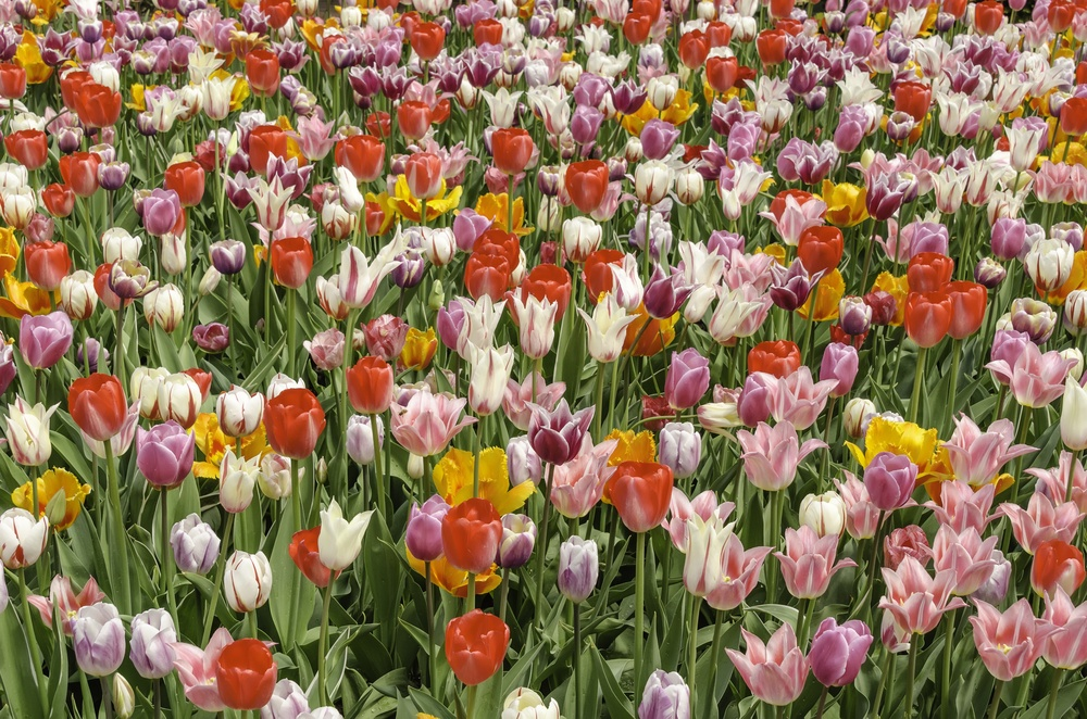 Floral celebration of spring Marvelous multicolored extravaganza of tulip hybrids in a massive garden bed.jpeg
